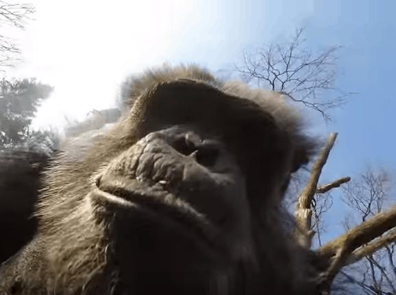 chimpansee-drone-aap-burgers-zoo-trotse-vaders